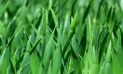 Трава от сглаза