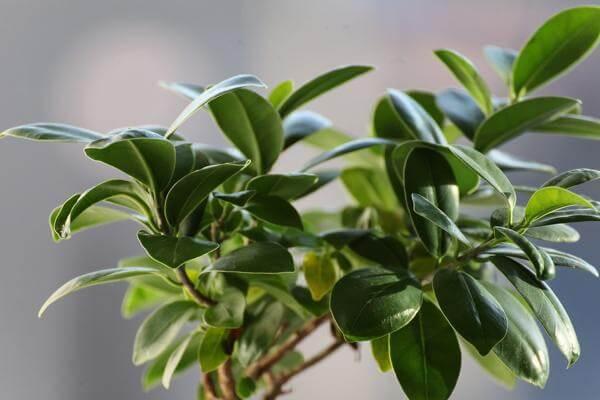 Комнатные растения от сглаза